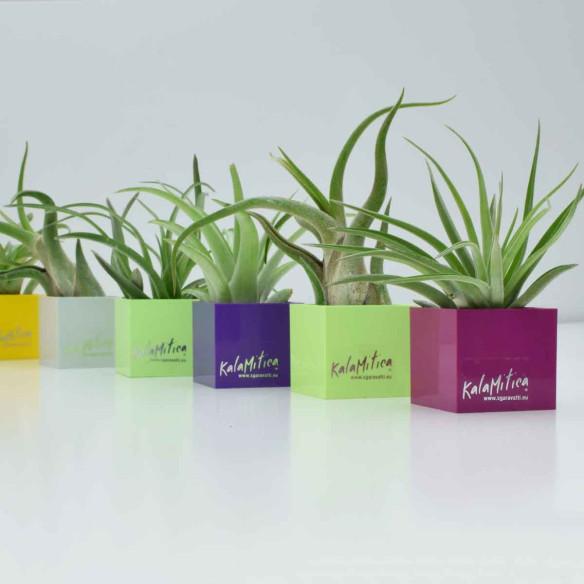 Air Plant - Tillandisa Multiflora