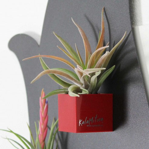 MAGNETIC CUBE 3,5 CM WITH TILLANDSIA...