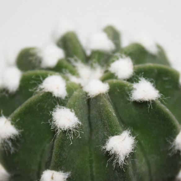 Echinopsis Subdenudata Mini Cactus Indoor Succulent