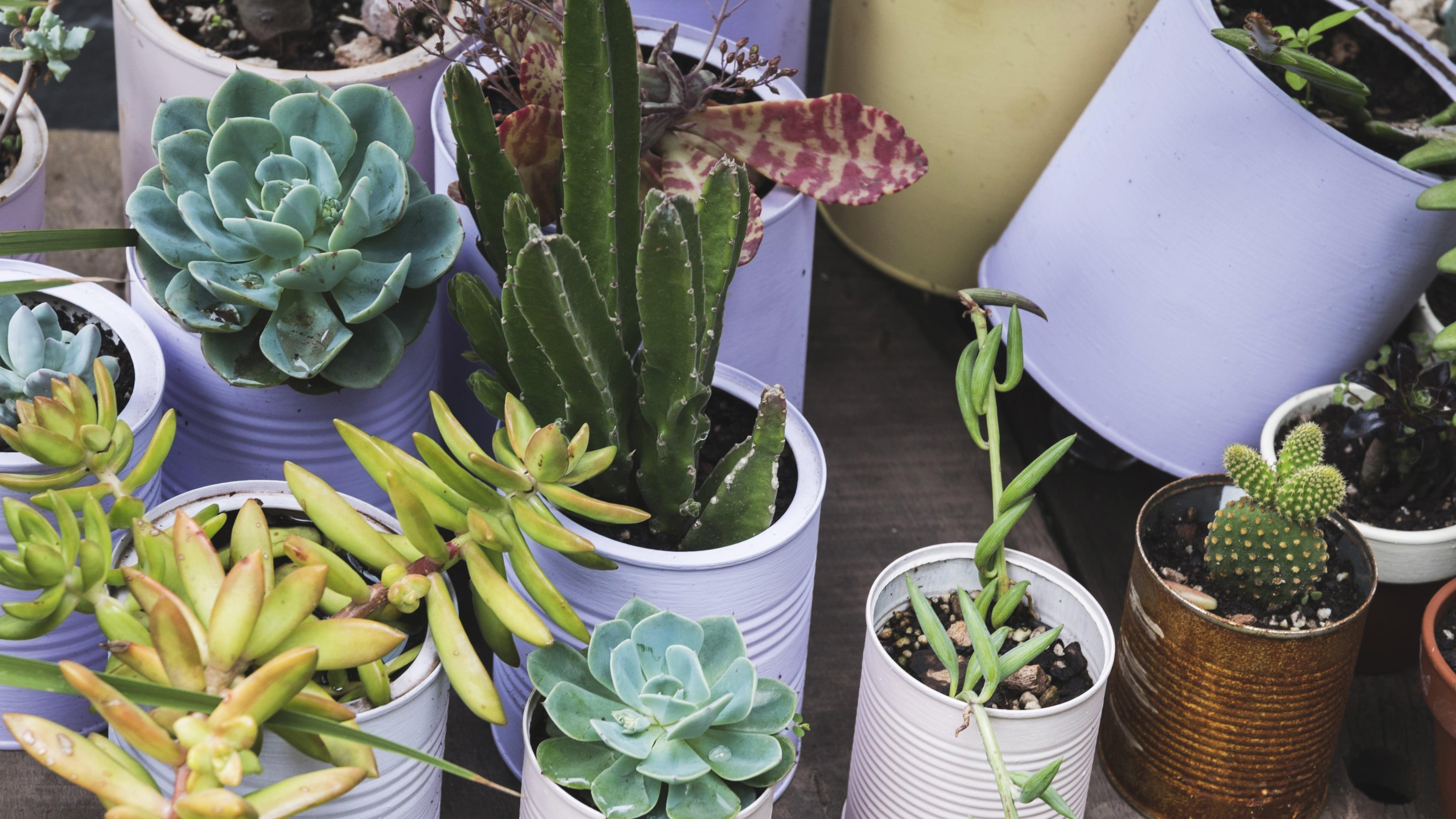 Mini Cactus in barattoli di latta, idea per la decorazione della cucina con piccole piante grasse